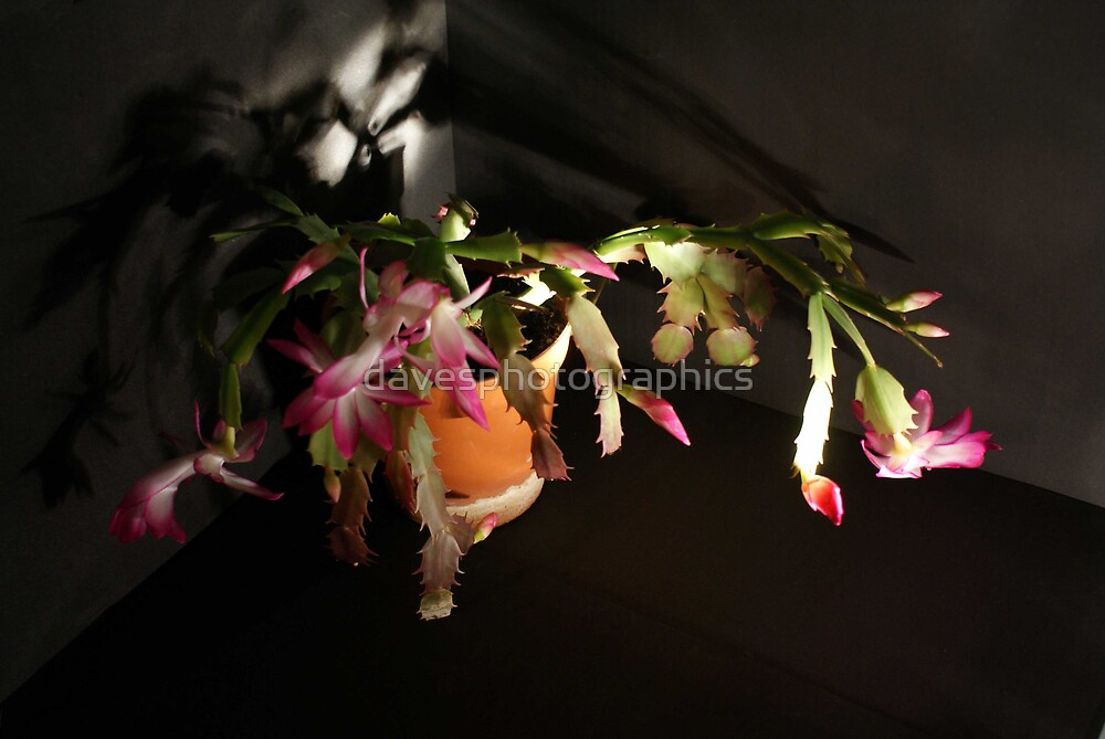 Christmas Cactus by davesphotographics