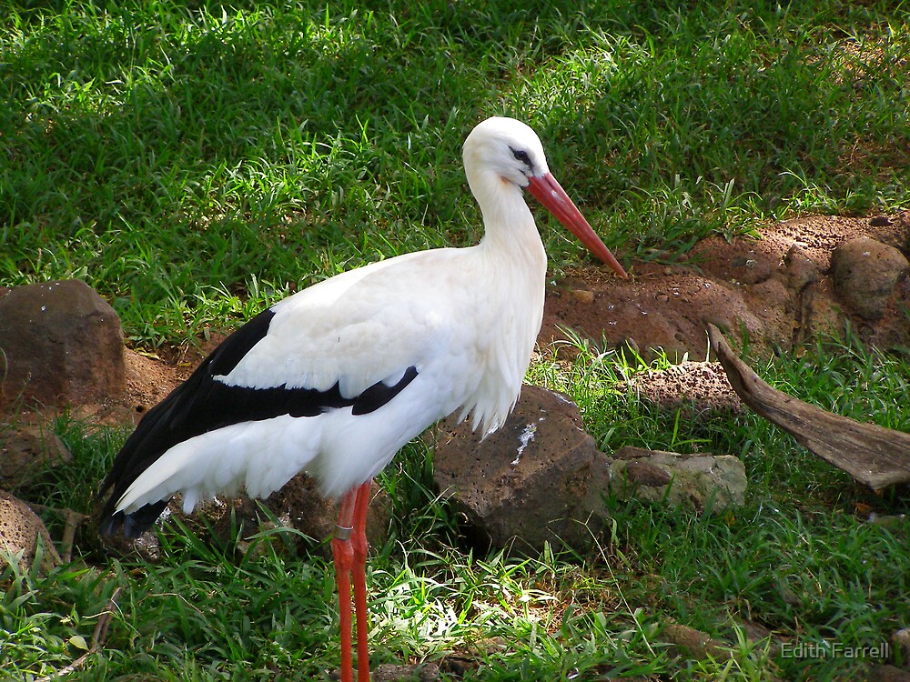 Crane at Oahu Zoo by Edith Farrell