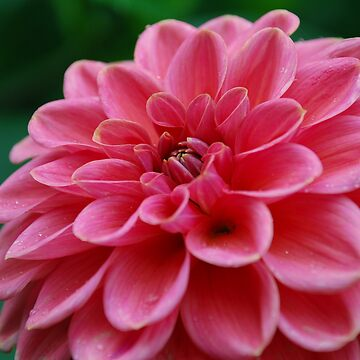Pink flower by 123alice1989