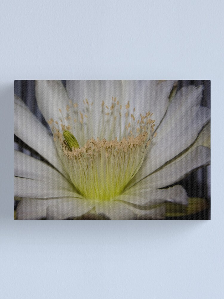 Alternate view of Cactus flower up close Canvas Print