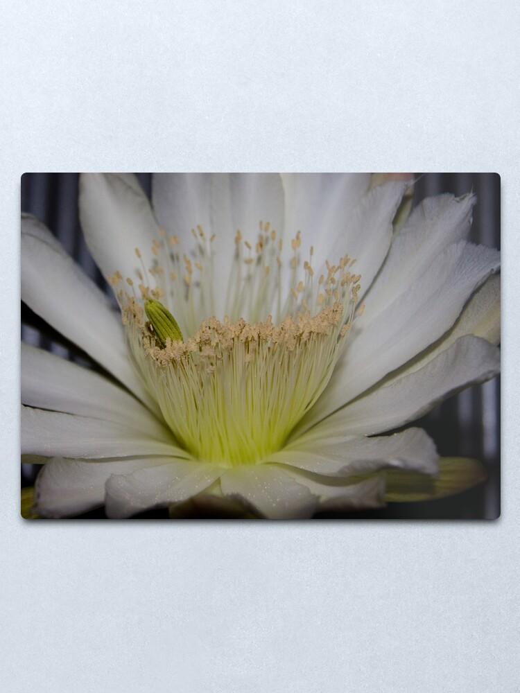 Alternate view of Cactus flower up close Metal Print