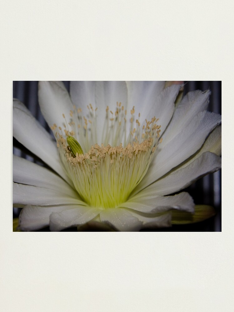 Alternate view of Cactus flower up close Photographic Print