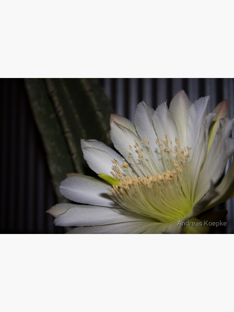 Cactus flower by mistered