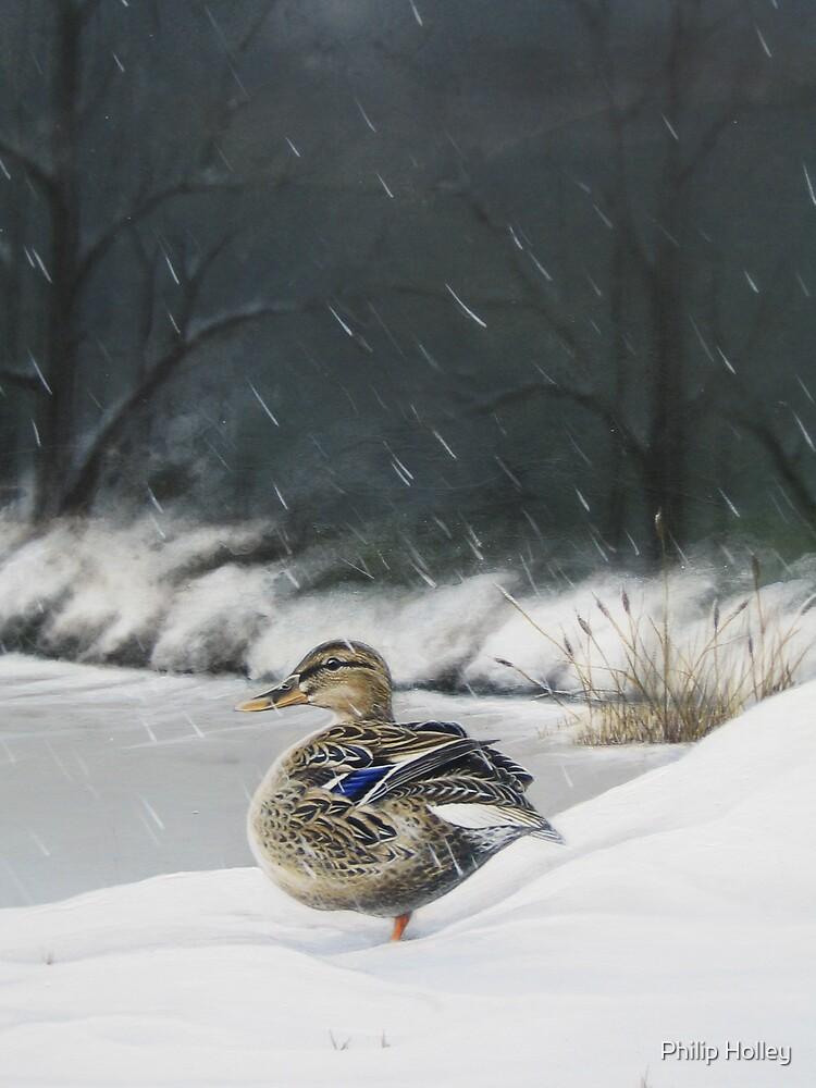 Wild duck Mallard by Philip Holley