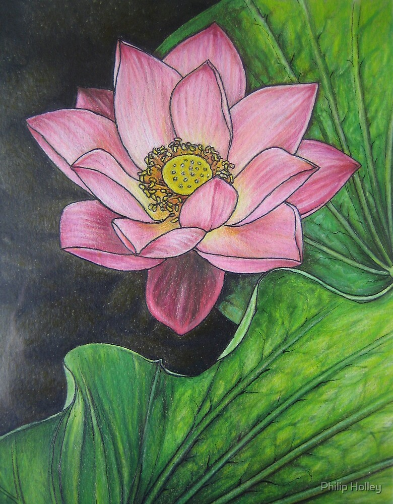 Pink Lotus Blossom by Philip Holley