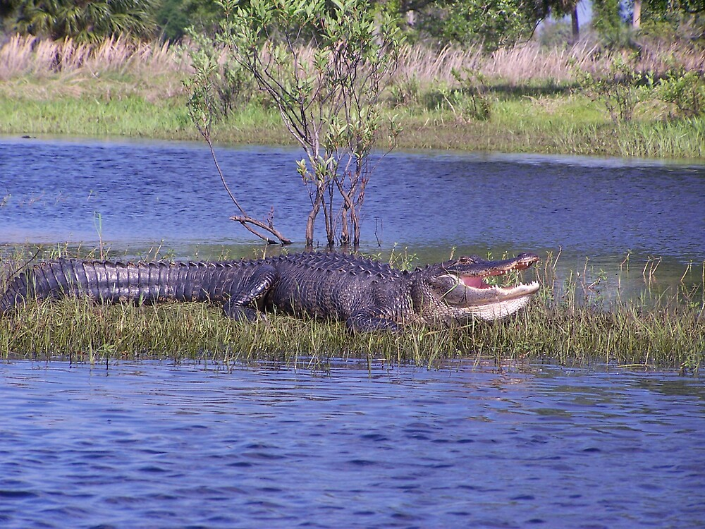 Gator on the bank by Karen  Moore
