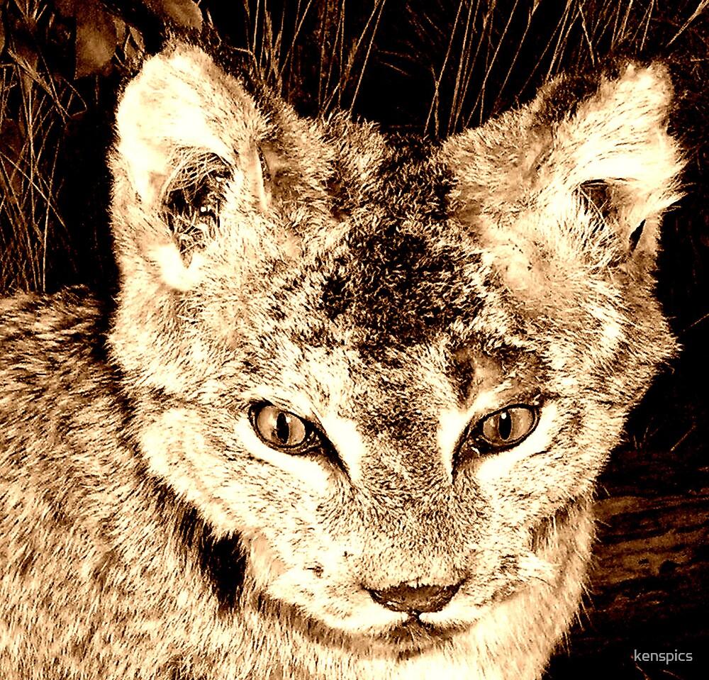 Bobcat by kenspics