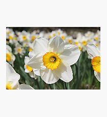 Bright White Daffodil in Spring Photographic Print