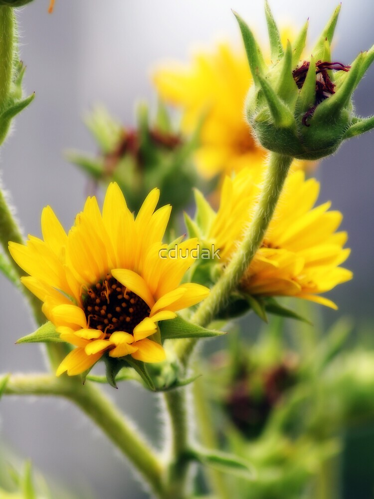 SUNFLOWERS ORTON EFFECT by cdudak