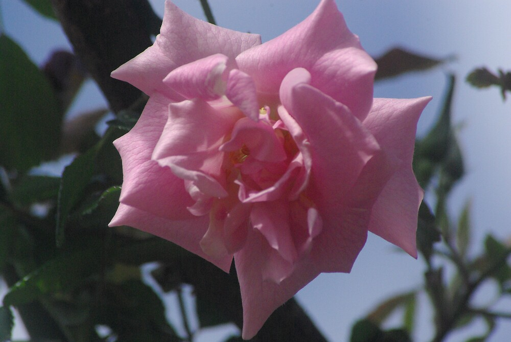 pink rose by Emma Dixon