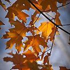 Maple Leaves by Eileen McVey