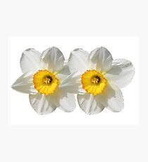 Fresh White Daffodils Photographic Print