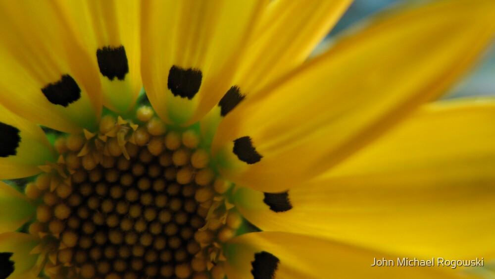 yellow gazania by John Michael Rogowski
