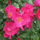 Single Roses in deep pink by Susan Moss
