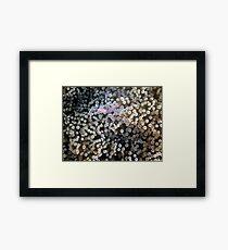 Clear Shrimp, Bikini Atoll, Marshall Islands Framed Print