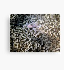 Clear Shrimp, Bikini Atoll, Marshall Islands Metal Print