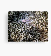 Clear Shrimp, Bikini Atoll, Marshall Islands Canvas Print