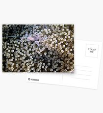 Clear Shrimp, Bikini Atoll, Marshall Islands Postcards