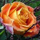 Beauty in Orange by ienemien