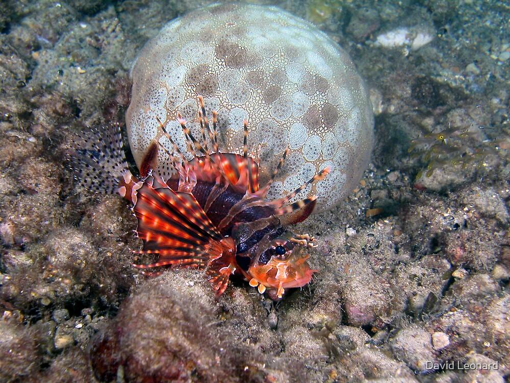 Lionfish and Pillow Star, Palau, Micronesia by David Leonard