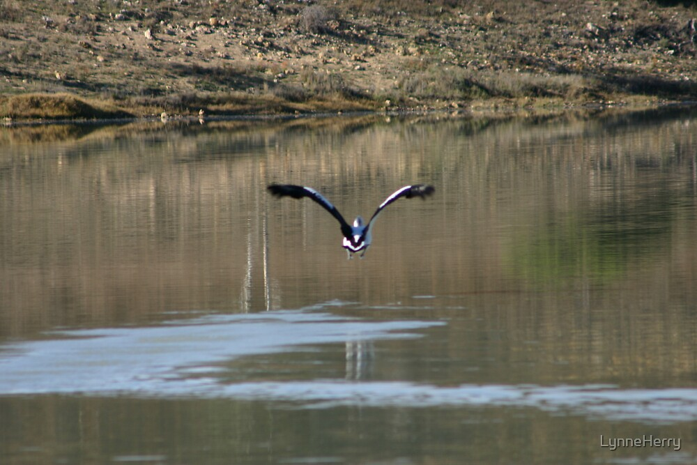 Bird in Flight by LynneHerry
