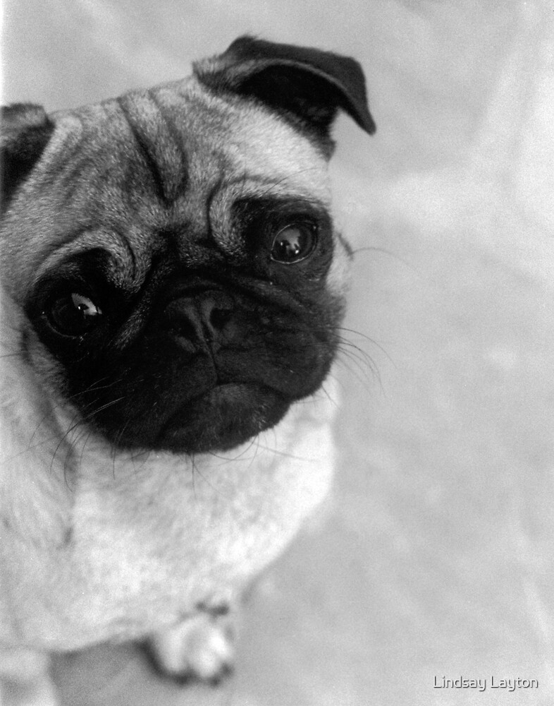 Chachee the Pug by Lindsay Layton
