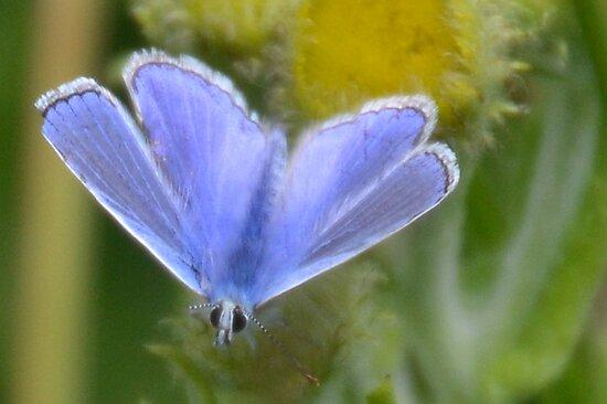 Little Blue, Lyme Coastal path, Dorset UK 2015-07-30 by lynn carter