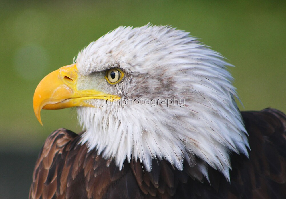 Bald Eagle  by jdmphotography