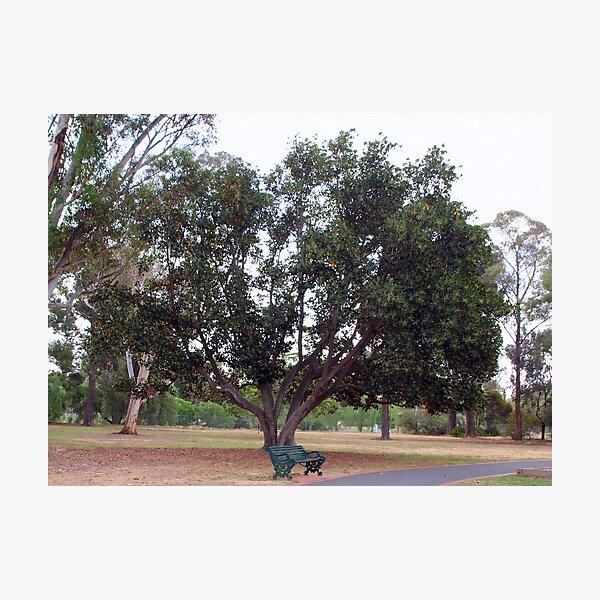 Moreton Bay Fig~Fichs Macrophylla -  Moraceae Photographic Print