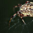 spider by bobjaret