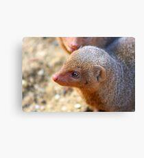 Mongoose close up ! Metal Print