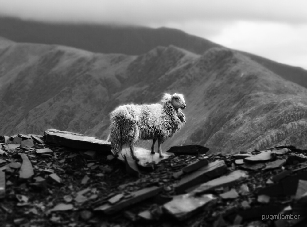 sheep by pugmilamber