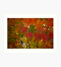 The Maple Leaves Art Print