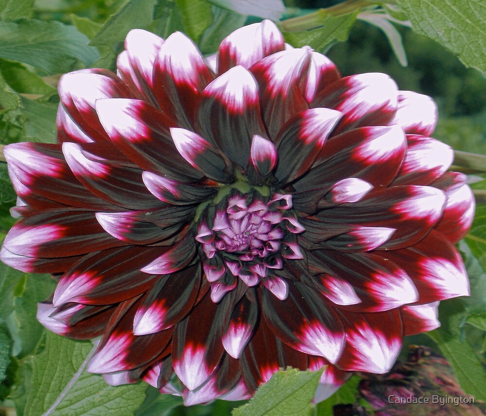 Red Christmas Dahlia by Candace Byington