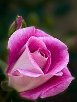 Pink rose by Celeste Mookherjee