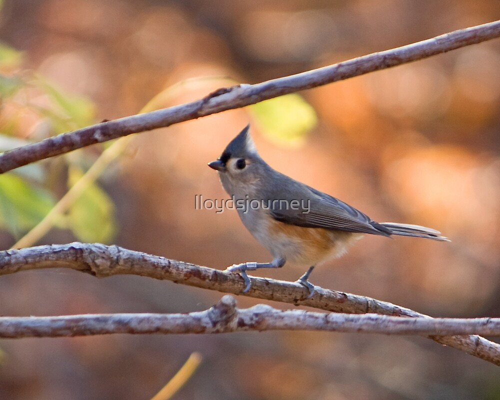 Tufted Titmouse by lloydsjourney