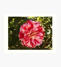 Two Toned Rose Art Print