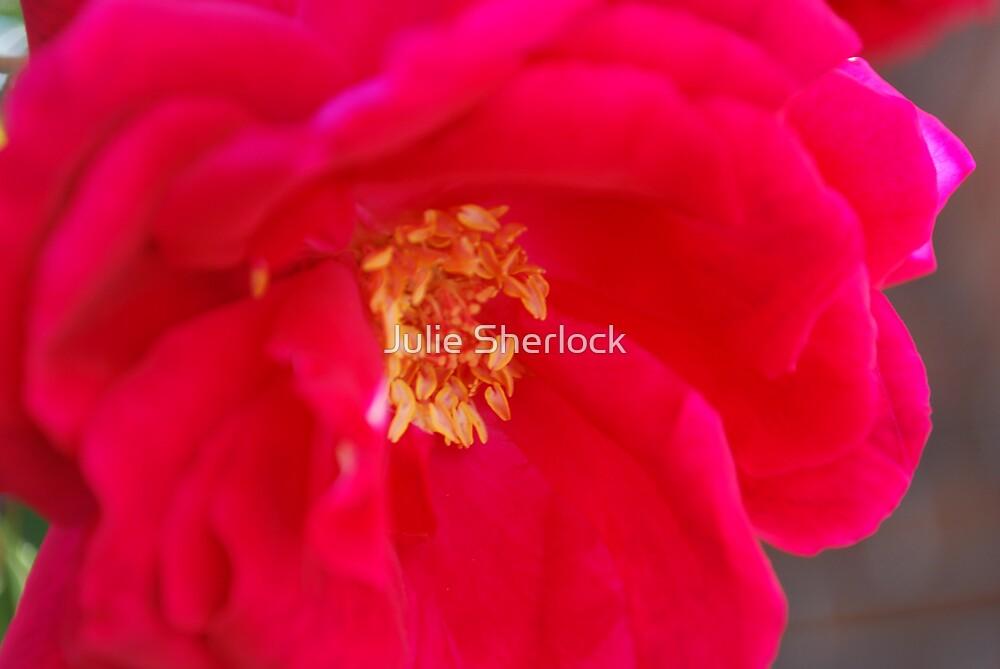 Rosa 'Blackboy' by Julie Sherlock