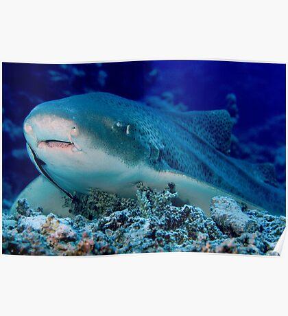Leopard Shark, Great Barrier Reef Poster