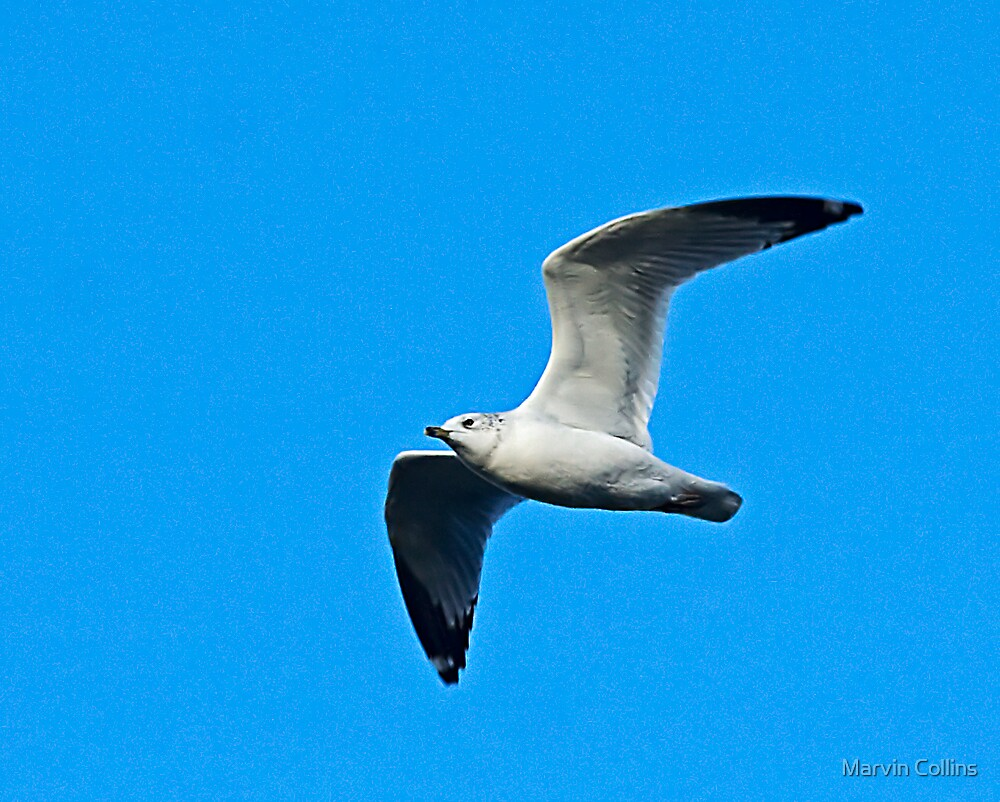 Gull by Marvin Collins