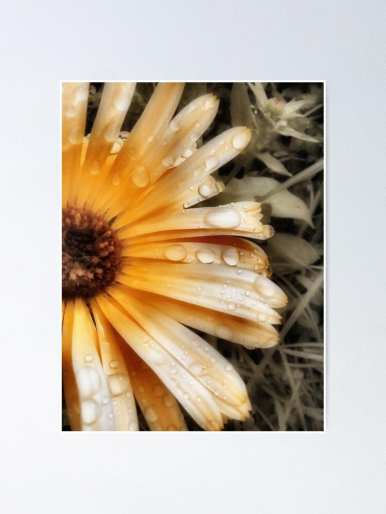 Alternate view of Raindrop Calendula Poster