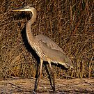 Great Blue Heron Before Sunsets by TJ Baccari Photography