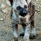 CUTE LITTLE BABY HYAENA - *Spotted Hyaena - Crocuta crocuta* by Magriet Meintjes