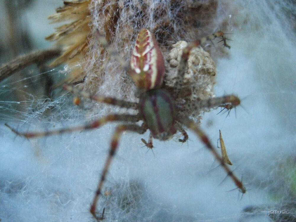 Close up of a spider  by jsmusic