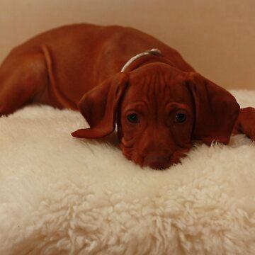 Hungarian Vizsla puppy by TraceyPacitti