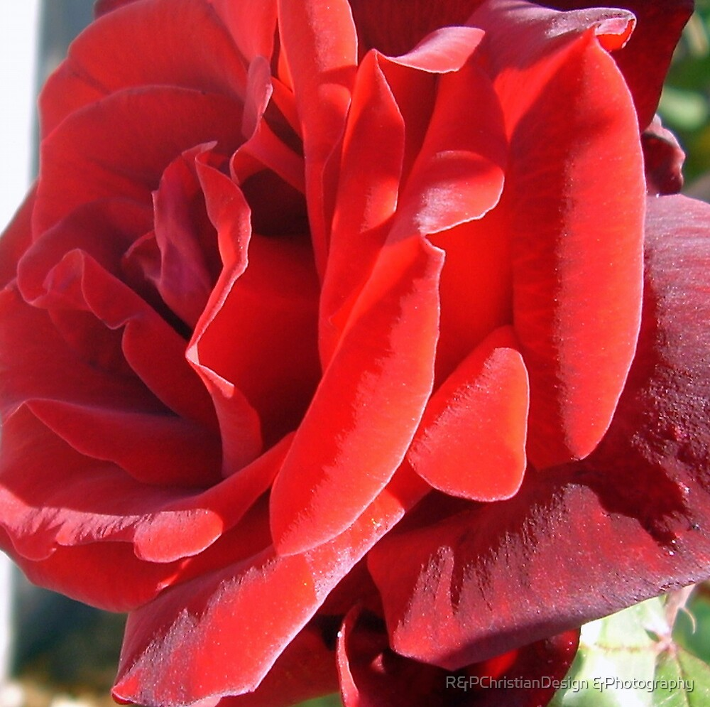 Red Rose by R&PChristianDesign &Photography