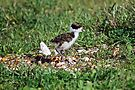 Masked Lapwing chick - best viewed large by Ian Berry