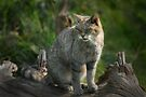 Scottish Wildcat (Endangered Specie 400 left) by Foxfire