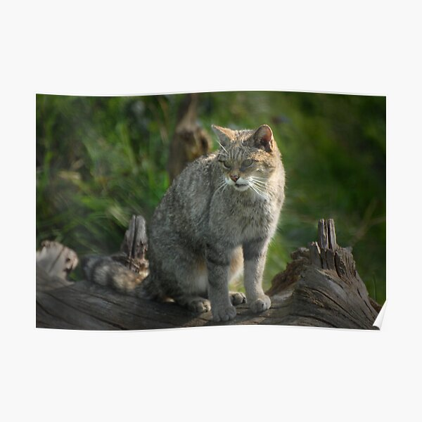 Scottish Wildcat (Endangered Specie 400 left) Poster