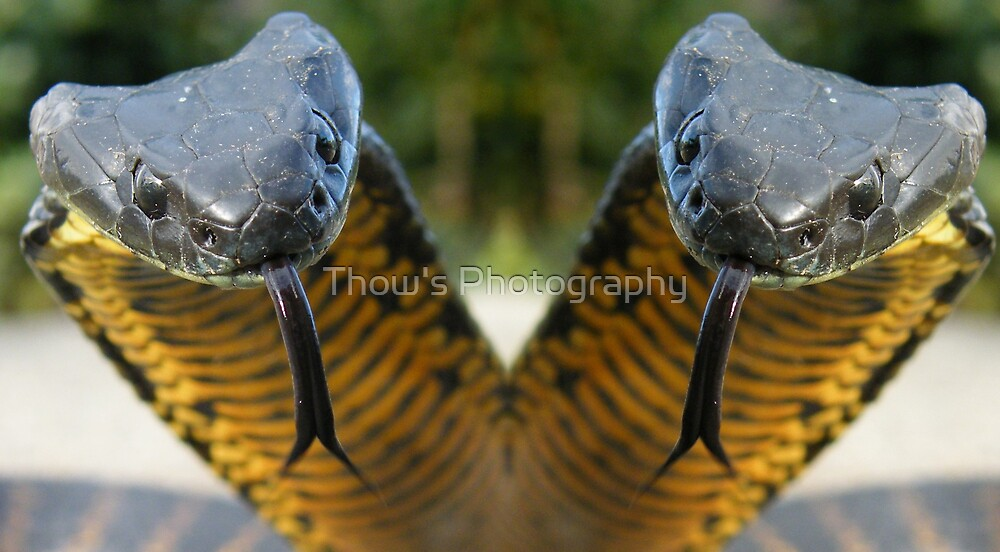Tasmanian Tiger Snake Two heads by Thow's Photography